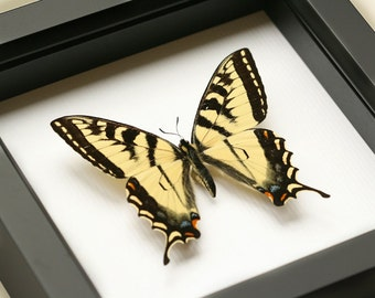 Real Tiger Swallowtail Butterfly Display