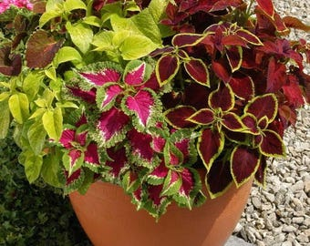 Coleus blumei mix (500 SEEDS)