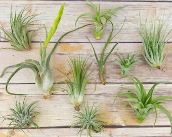 "25pc Air Plant Tillandsia ""TLC"" Assortment / Second Chance Quality / Wholesale Price Tillandsias with Minor Imperfections"