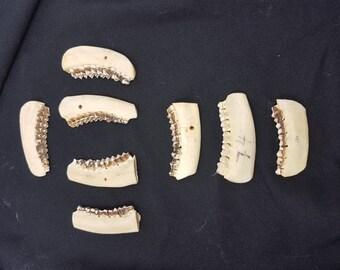 Real roe deer jaws teeth