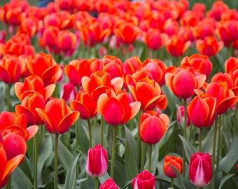 Red-Orange Field of Tulips