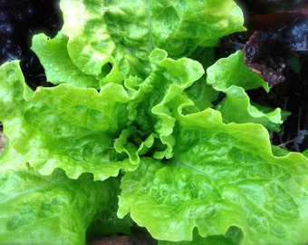 SALE! Black Seeded Simpson Excellent Quality and Flavor Organic Heirloom Leaf Lettuce Seed Rare Grown To Organic Standards