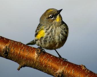 Yellow-rumped Warbler Digital Download/ Bird Photography/ Wildlife Photography