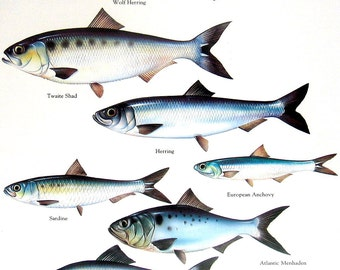 Wolf Herring, Twaite Shad, Sardine, Herring, European Anchovy etc. Vintage 1984 Fish Book Plate