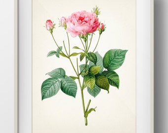 Rose Botanical #01 by Redoute - RD-01 - Fine art print of a vintage natural history antique botanical illustration