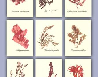 Seaweed art, MADE to ORDER,  miniature Seaweed Herbarium, Alganet Botanical seaweed pressings, pressed seaweed, Set of 9, ACEO size