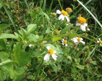 Bidens pilosa alba ORGANIC seeds 100+ Spanish Romerillo medicinal edible herb