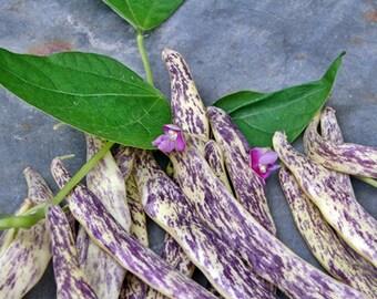 Dragon Tongue Heirloom Bush Bean Seeds Naturally Grown Open Pollinated Gardening