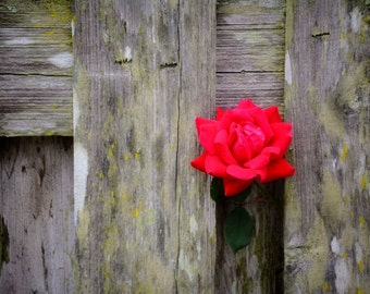 Fenced Out - Fine Art Photography - Rose Photography - Rustic Photography by Kelly Warren