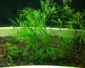 Water Sprite, Ceratopteris thalictroides, Live Aquarium/Aquatic/Background/Red Plant,Planted Tank,Aquascape