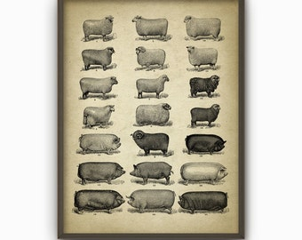 Sheep And Pig Breeds Wall Art Print - Antique Sheep And Pig Book Plate Illustrations - Types Of Sheep And Pig - Ranch Farming Gift Idea