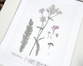 Yarrow Herb Botanical Illustration Archival Print on Watercolor Paper