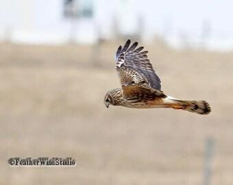 Northern Harrier Photo | Raptor Photography | Hunting Bird | Hawk In Flight | Prairie Wildlife | Bird Of Prey Wall Decor | Marsh Hawk Print