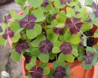 Oxalis deppei, Oxalis Tetraphylla 10 bulbs