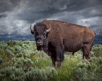 Buffalo Art Print, National Mammal, American Buffalo, Yellowstone National Park, Wyoming, Bison, Animal Wildlife, Nature Landscape, Photo
