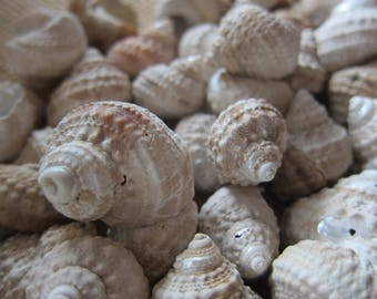 Seashells- TURBAN Shells *50 pcs!* Perfect for Coastal Decor, Beach Decor, Nautical Decor, Florida