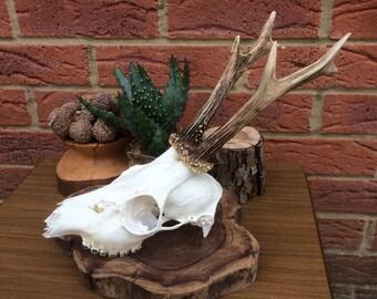 Beautiful Vintage Roe Deer Skull Bones Natural Taxidermy