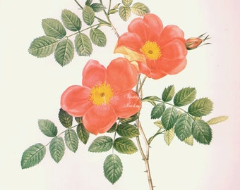 "LARGE 11 1/4""  X 8 3/4"" Vintage Redoute Rose, Flower Print, Botanical Illustration ready to frame book lithograph plate"