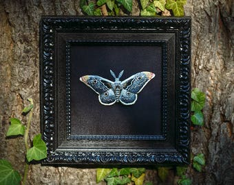 Emperor moth brooch with show frame