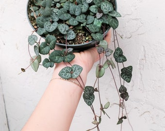 "Trailing Succulent STRING OF HEARTS Plant 6"" Super Long Pot Rare Ceropegia Woodii Hanging Basket Plant Indoor Trailing Vine Succulent Favor"