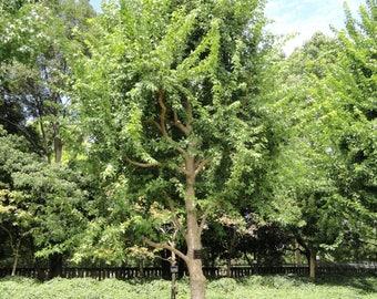 10 Acer buergerianum ,Trident Maple Seeds