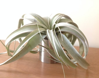 Air plant (Tillandsia xerographica air plant) on stainless steel circular base/stand/display