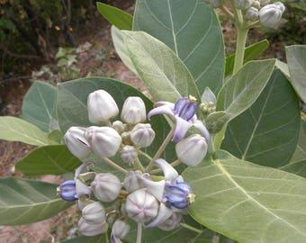 Asclepias calotropis Gigantea Giant Milkweed 10 seeds