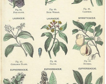 Four 1851 ORIGINAL hand colored lithographs Fruit, Trees and Herbs. Including Tobacco, Clove, Nutmeg from James Reynolds's 'Universal Atlas'
