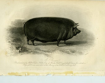 Vintage engraving of a boar ca 1843