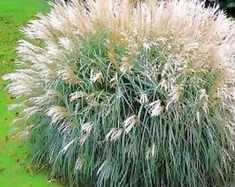 Chinese Silver Grass Seeds (Miscanthus Sinensis Early Hybrids) 30+Seeds