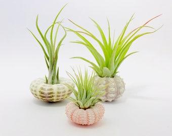 Tillandsia, 3 pcs, air plant, terrarium, terrarium tillandsia terrarium air plant, Sea Urchin, Sea Urchin, sea urchin air plant terrarium, plant