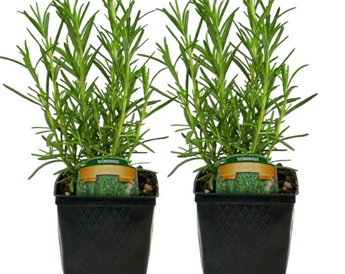2 Rosemary Plants - Live Herbs Grown Organic Hardy Rosemary Arp 4 Inch Container Potted Plants Non-GMO   Great Gift Idea For Gardeners