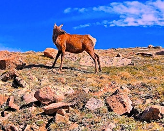 Elk Hind, Rocky Mountain National Park, CO, Photography