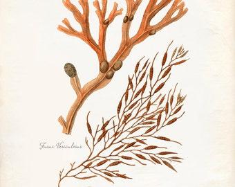 Vintage Sea Coral Kelp Print 8x10 P254