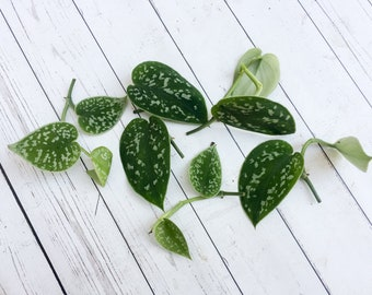 Pothos Picta CUTTINGS Silver Philodendron Plant Cuttings
