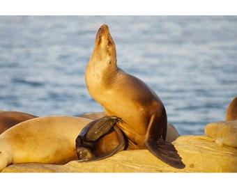 Sea Lion in La Jolla Cove California Fine Art Photography Print