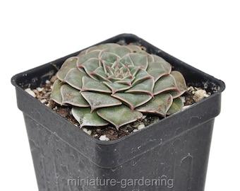 Graptopetalum bellum, Chihuahua Flower for Miniature, Fairy, Succulent