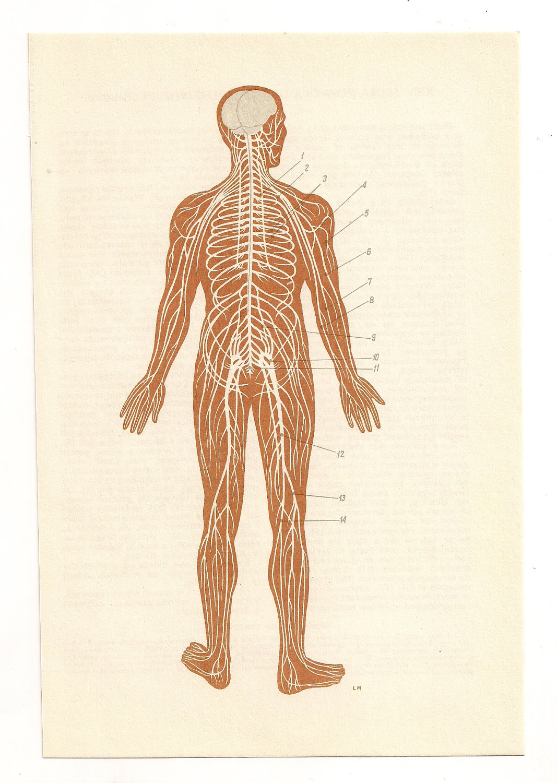 2 Vintage Anatomical Prints brain skeleton blood Medical