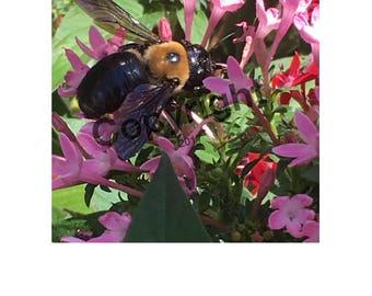 Bee On Purple Penta Photo