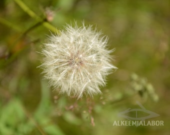 Dandelion seed head - fine art photography, instant download printable art, wall art, home decor, nature, office decor