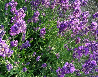 Lavender Seeds, English Lavender, Lavandula angustifolia Seeds, Herb Garden and Cut Flower Garden Favorite, Great for Pollinator Gardens