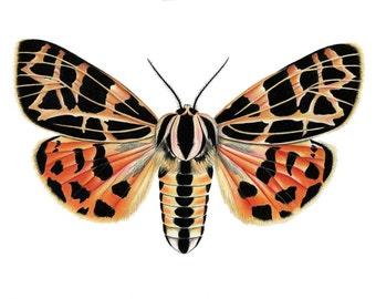 Tiger Moth Print