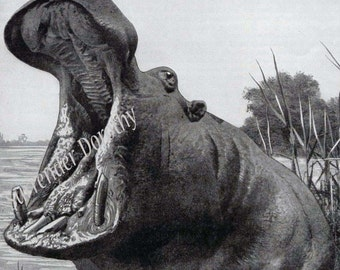 Yawning African Hippo Silly 1920s Natural History Print To Frame Black & White