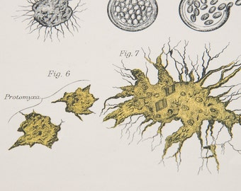 1881 Protozoa Antique Print