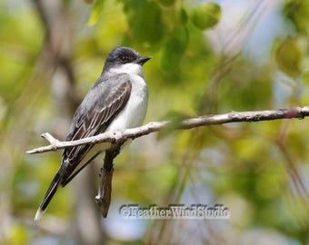 Kingbird Photo | Flycatcher Bird Pic | Nature Photography | Avian Spring Wall Art | Kingbird Decor | FeatherWindStudio | Quality Bird Prints