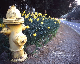 Spring season images,Garden photography,fine art photography,Oregon,fire hydrant H,flowers,blooming flowers,daffodils,street photography