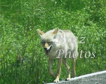 Walking on a Yellowstone Road