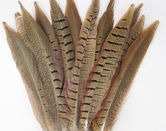 Pheasant Tails, ring-necked, 5-10 inch, per DOZEN   (ptrxsdz)