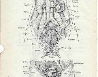 Human Anatomy Urogenital Organs or Respiratory Organs on the Reverse Side of the Page Vintage Anatomy Medical Illustration to Frame PSS 0122