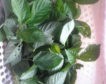 50 Molokhia or Egyptian spinach,  jute mallow or Jew's mallow seeds